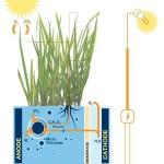 comment produire de l'électricité à partir de plantes vivants ?